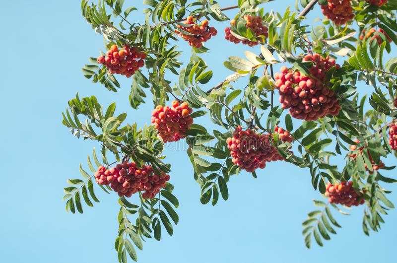 Red Rowan berries on a branch. Ripe mountain ash in autumnal tree. Fall seasonal background. Red Rowan berries on a branch. Ripe mountain ash in autumnal tree royalty free stock image