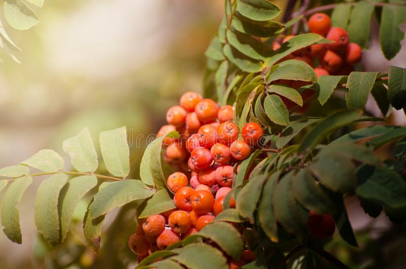 Red Rowan berries on a branch. Ripe mountain ash. Fall seasonal background. Red Rowan berries on a branch. Ripe mountain ash in autumnal tree. Fall seasonal royalty free stock images