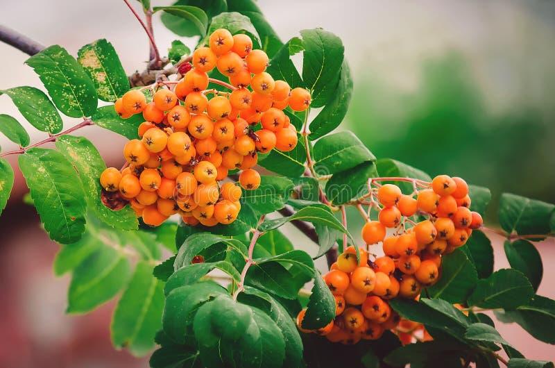 Red rowan berries, closeup. Beautiful natural background. Close-up royalty free stock photo