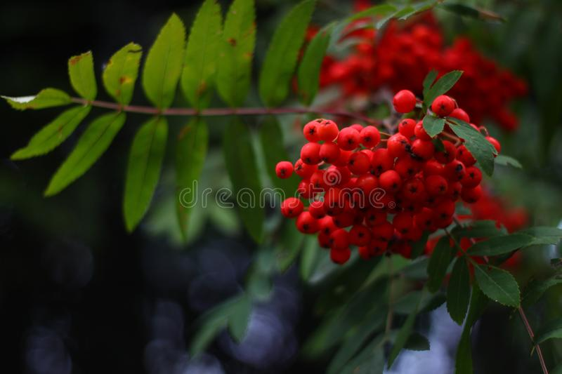 Red rowan berries in the evening light. A bunch of red berries of a mountain ash tree in the evening light with a branch of leaves stock photo
