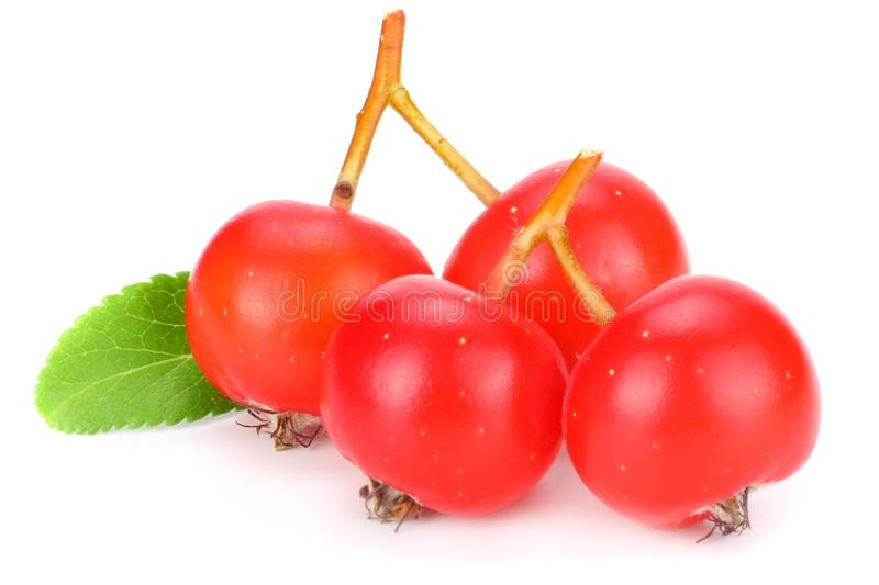 Red rowan berries with green leaf isolated on white background. macro royalty free stock images