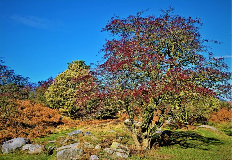 Red rowan berries, on Halloween day, in Burbage Brook, near Padley Gorge, Grindleford, East Midlands. Taken to capture the rich autumnal colours surrounding stock images