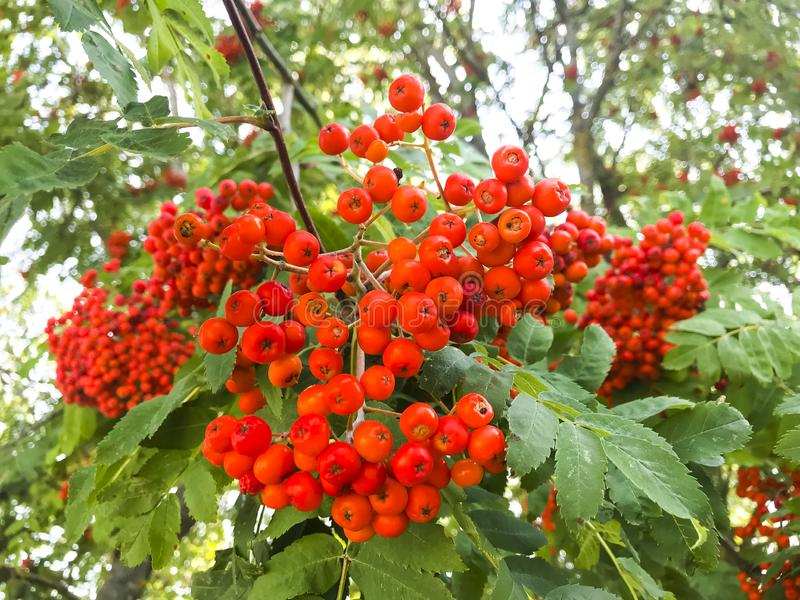 Red rowan berries with leaves on tree branches. Studio Photo royalty free stock images