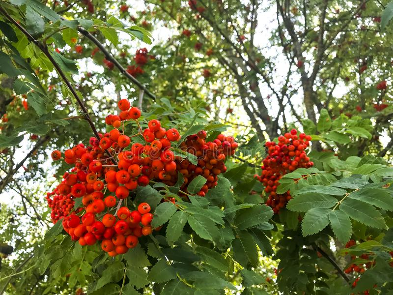 Red rowan berries with leaves on tree branches. Studio Photo stock images