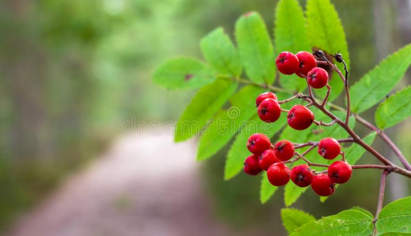 Red rowan berries on the road background stock photos