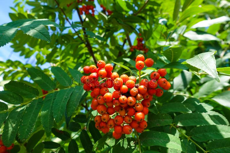 Red rowan berries on a tree against a blue sky royalty free stock photography