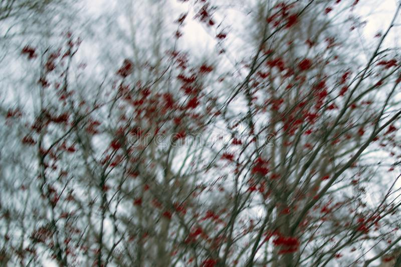 Red rowan berries on tree branches - Blurred photo bokeh royalty free stock photo
