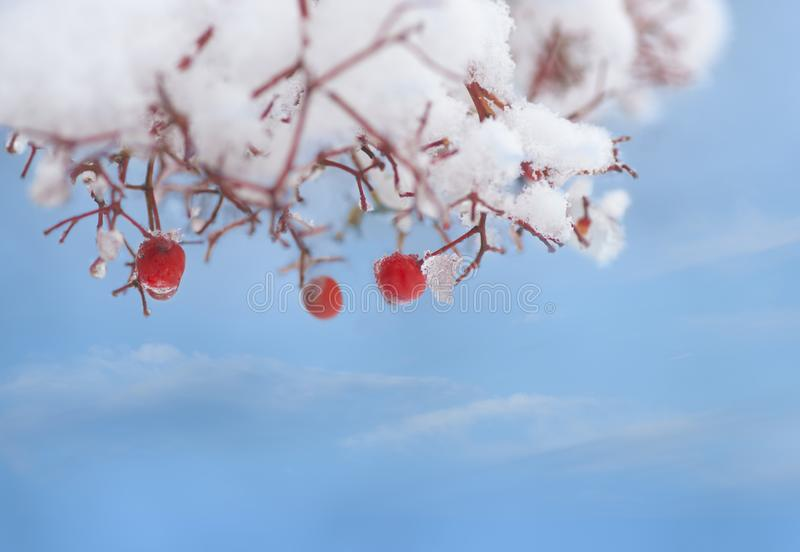 Red rowan berries in tree covered in snow and ice stock photography