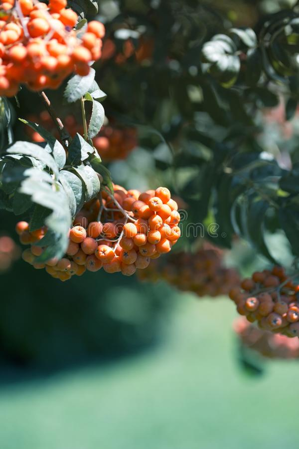 Red rowan berries tree. Frame in the autumn style, harvest time stock photography
