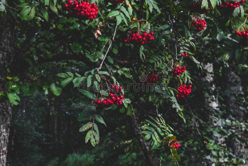 Red rowan berries on rowan tree royalty free stock photos