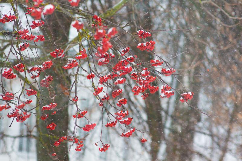 Red rowan berries on a tree in winter under snow cover_ royalty free stock photography