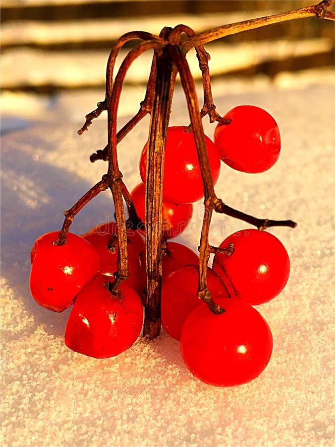 Winter Rowan berries in the snow stock photos