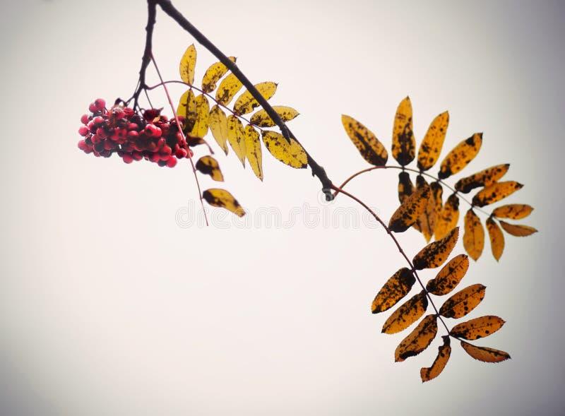 Red rowan berries royalty free stock photos