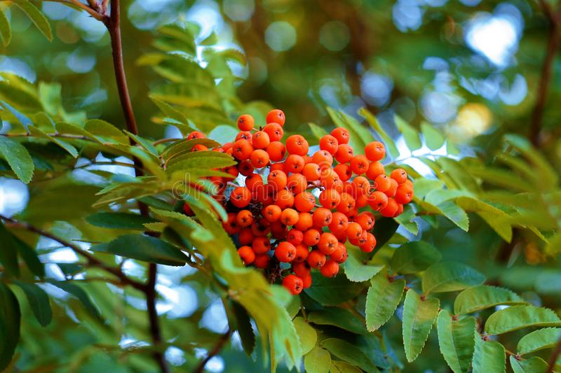 Red rowan in the garden royalty free stock photography