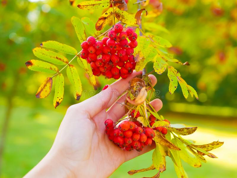 Hands With Red Ripe Rowan Berries Stock Photo - Image of ...