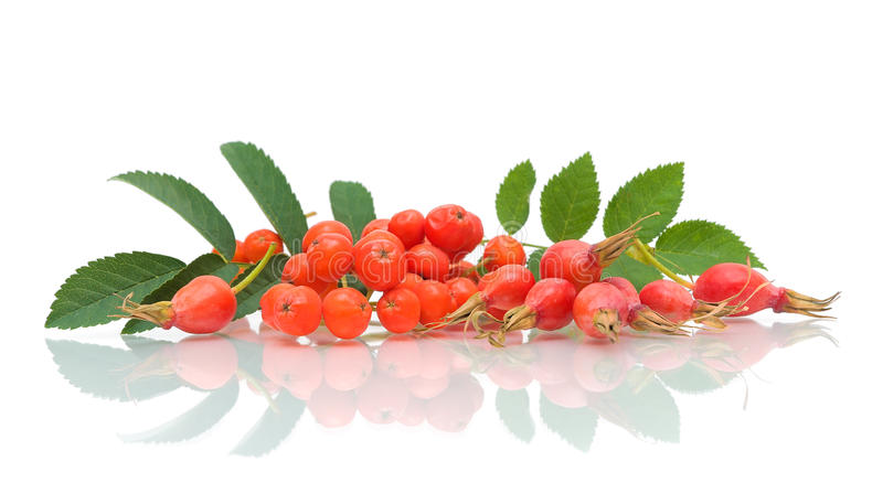 Red rowan and rose hips on a white background. Ripe red berries of mountain ash and rose hips on a white background with reflection stock images