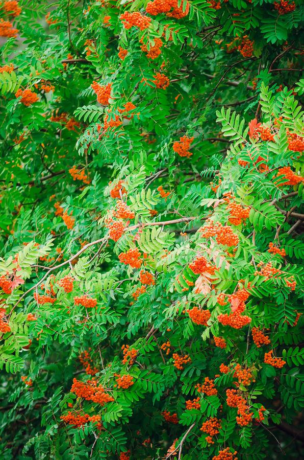 Red rowan tree with fruits. Beautiful natural background. Vertical photo stock photography