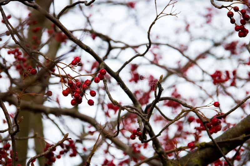 Red rowan tree hanging on a tree. Red rowan berries hanging on branches against a gray sky royalty free stock photo