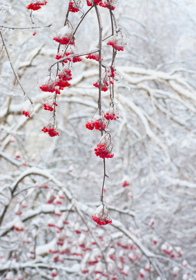 Red rowan in winter. Red rowan tree in winter forest royalty free stock photography