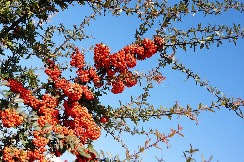 Red rowanberry on the mountain ash tree branch royalty free stock images