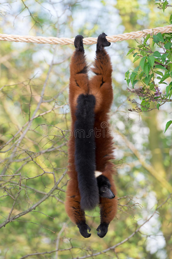 A red ruffed lemour on the tree in the zoo. stock image