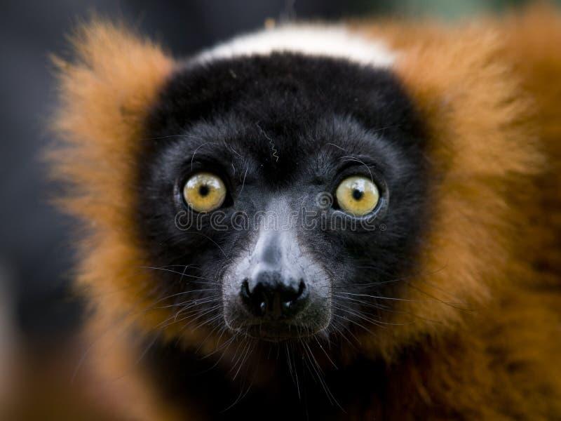 Download Red ruffed lemur stock photo. Image of prosimian, portrait - 18668594