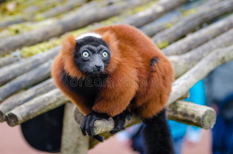 Red Ruffed Lemur royalty free stock images