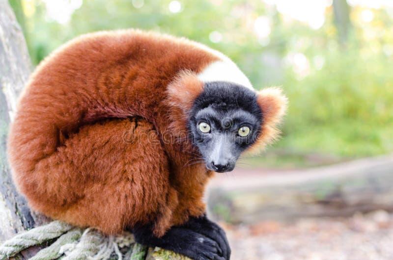 Red-ruffed Lemur royalty free stock photography