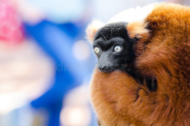 Red-ruffed Lemur royalty free stock image