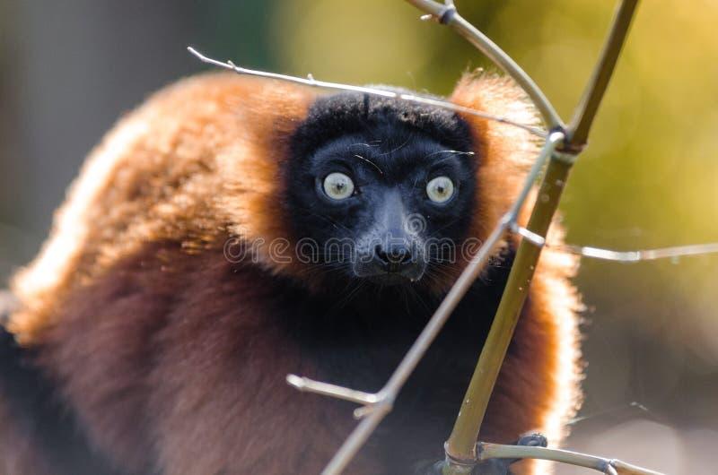 Red-ruffed Lemur stock photography