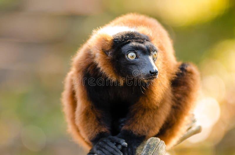 Red-ruffed Lemur stock image