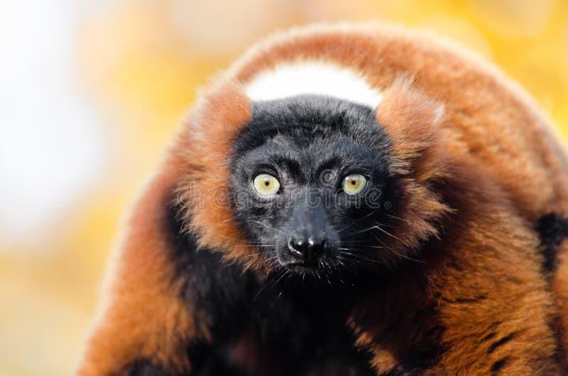 Red-ruffed Lemur stock photos