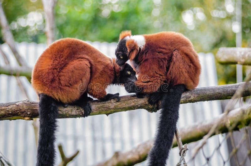 Red Ruffed Lemur Free Public Domain Cc0 Image