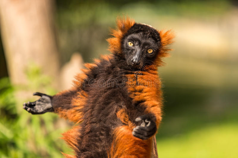 A red ruffed lemur in Artis. royalty free stock photography