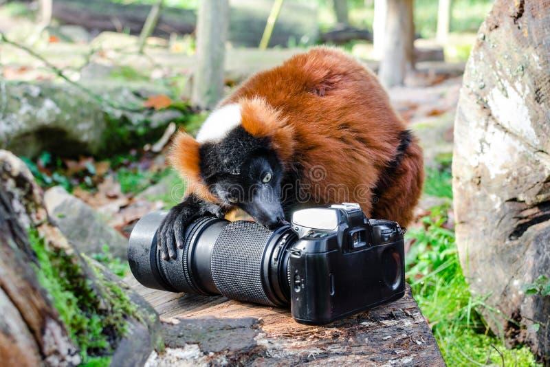 Red-ruffed Lemur eats Nikon F70 royalty free stock photo