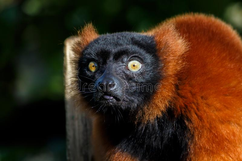 A Red Ruffed Lemur Looking Towards Camera. A Red Ruffed Lemur Looking At The Camera royalty free stock photography