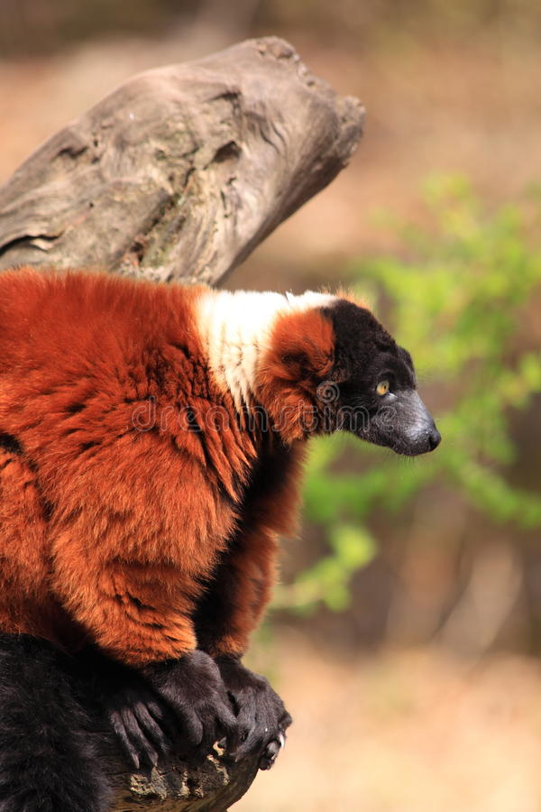 Red ruffed lemur monkey royalty free stock photos