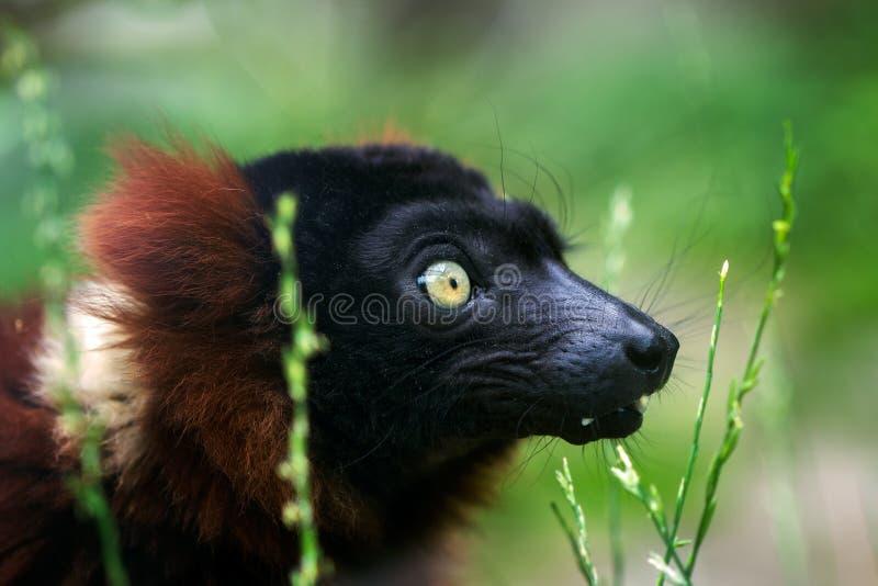 Red ruffed lemur. Portrait of red ruffed lemur in detail stock image