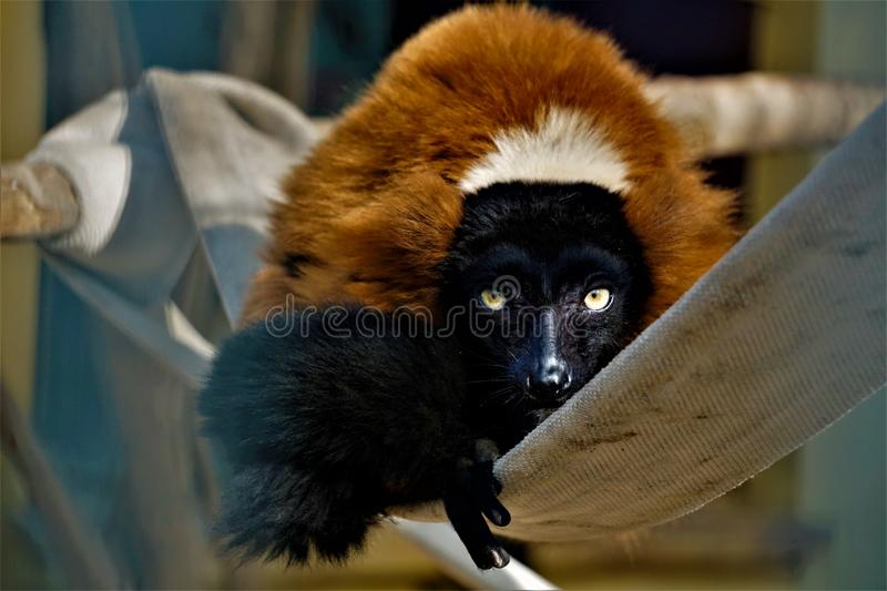 Red ruffed lemur sitting in the zoo staring in the camera stock photo