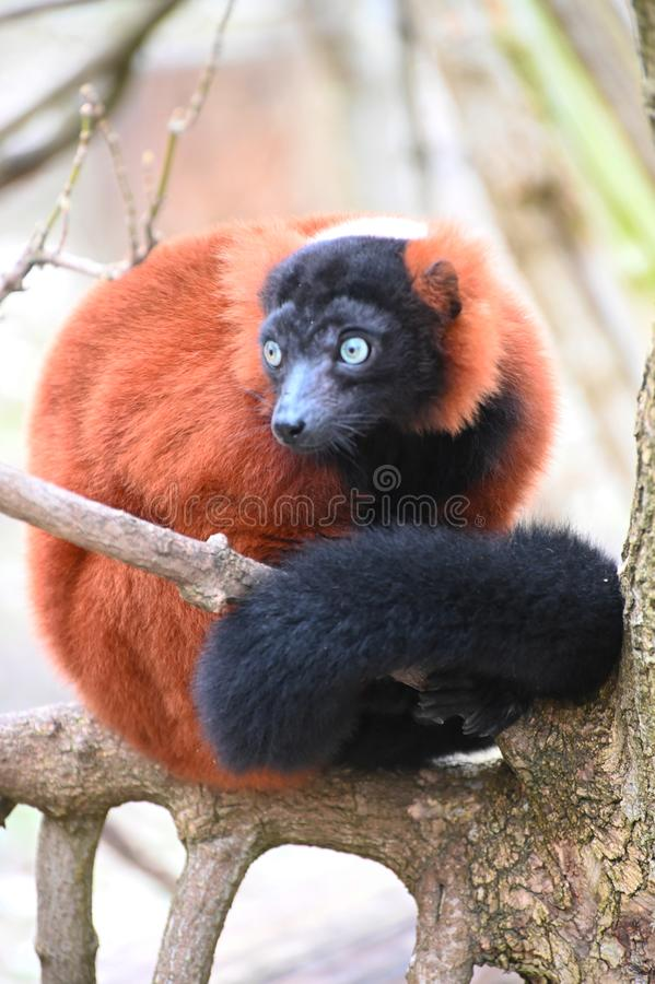A red ruffed lemur on a tree royalty free stock photography