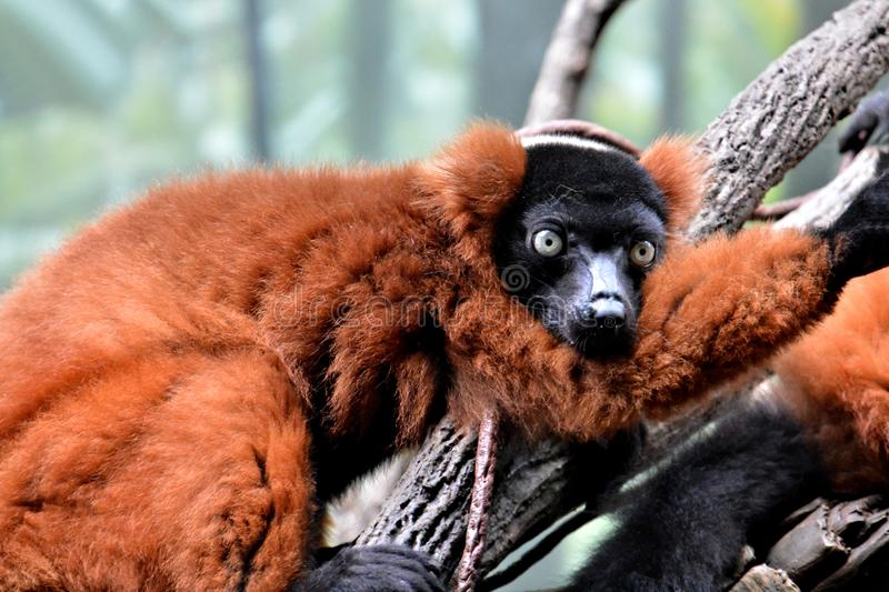 Red ruffed lemur (Varecia rubra). Cute red ruffed lemur resting on a branch. It is one of the largest primates of Madagascar stock image