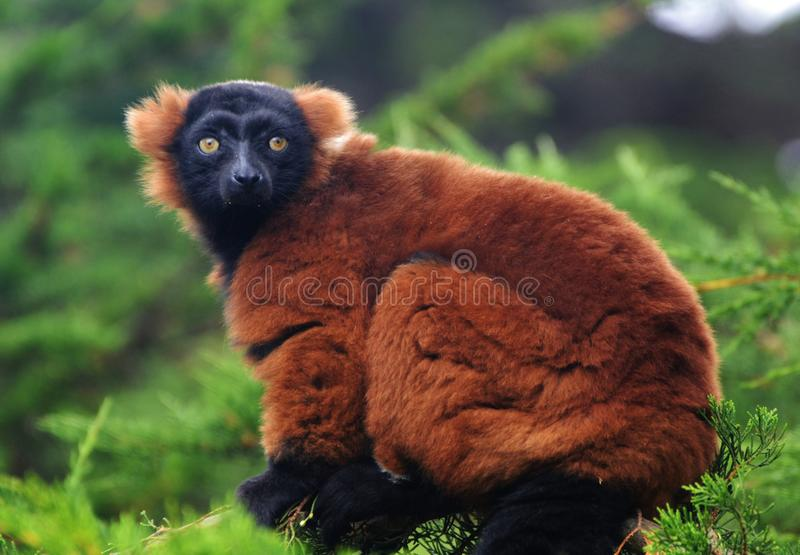 Red Ruffed Lemur. (Varecia rubra), found only on the African island of Madagascar stock image