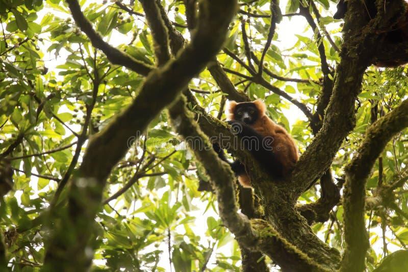 Red ruffed lemur, Varecia rubra in Masoala National Park, Madagascar stock image