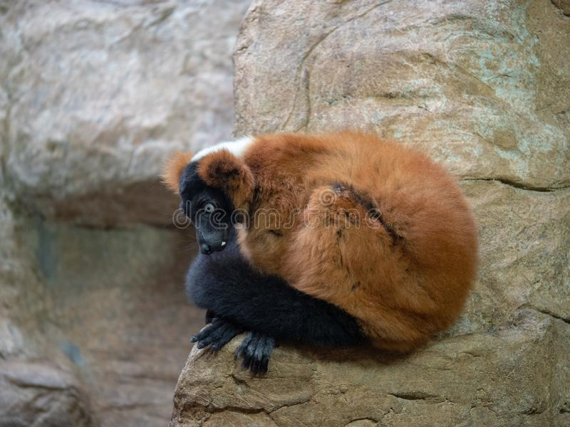 Red ruffed lemur varecia rubra sits on rock and stares to the left royalty free stock photography
