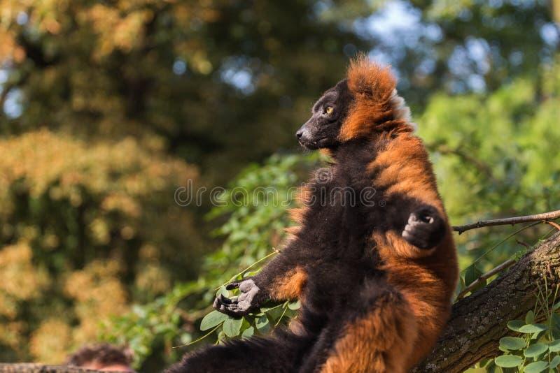 Red ruffed lemur (Varecia rubra) sunbathing on a tree branch stock photos