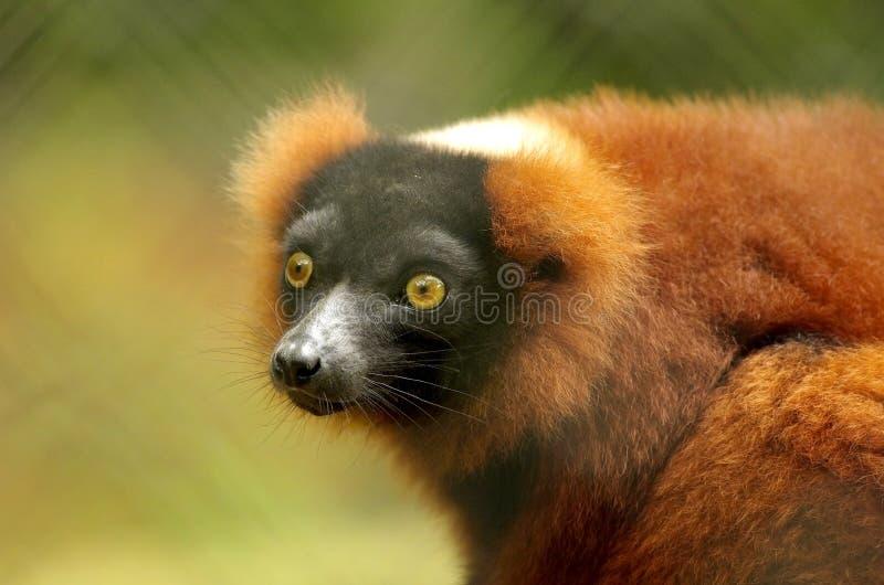 Red Ruffed Lemur. In the wild stock photos