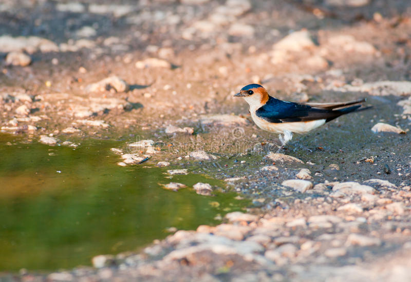 Red-rumped Swallow royalty free stock image