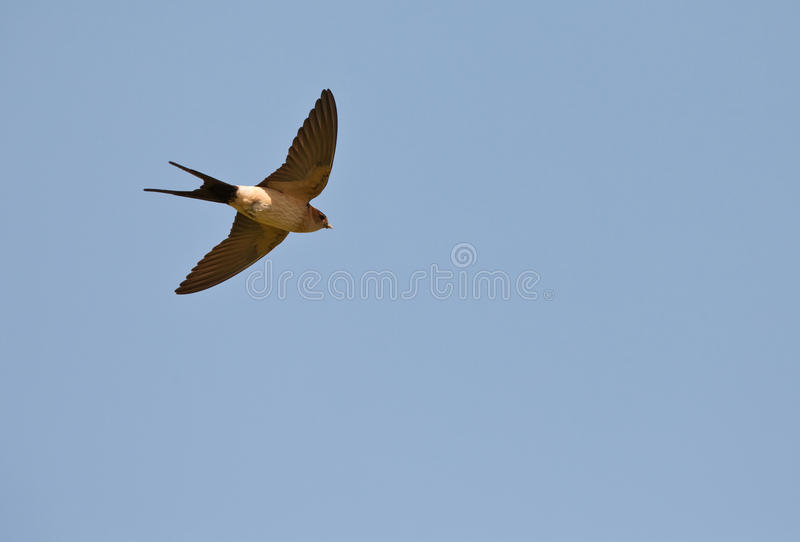 Red-rumped Swallow on flight. Like all Swallows, the Red-rumped Swallow (Cecropis daurica) has a very fast flight which makes it difficult to appreciate it stock images