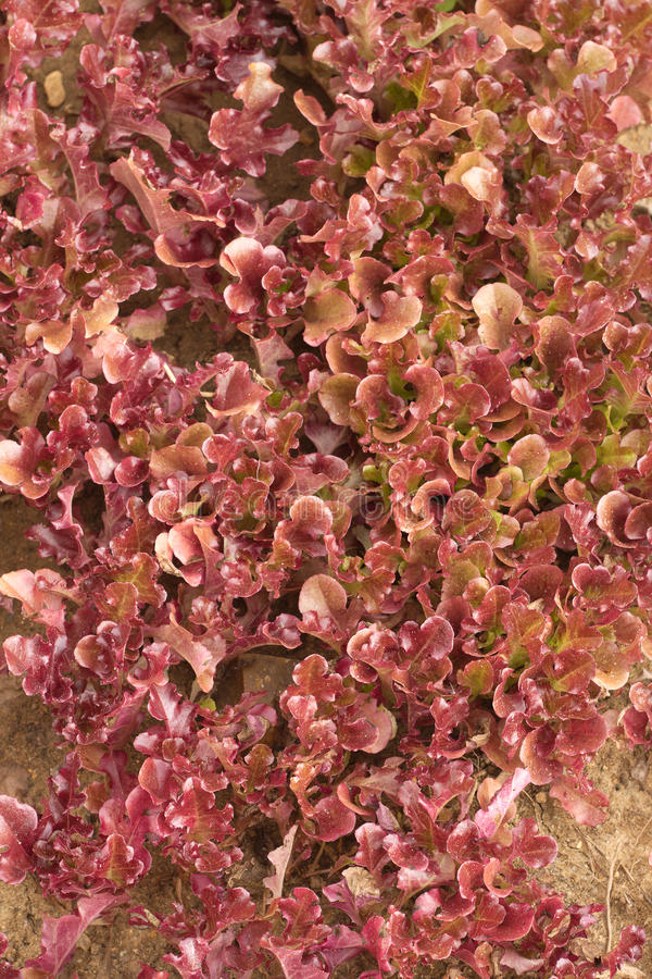 Download Red salad grows close up stock photo. Image of garden - 32752426
