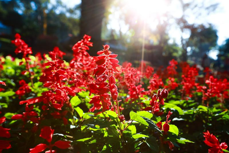 Red salvia flowers. Flower that symbolizes Asian spring luck royalty free stock image
